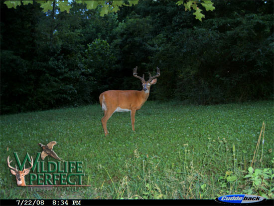 WP Chicory/Clover Mix Game Cam